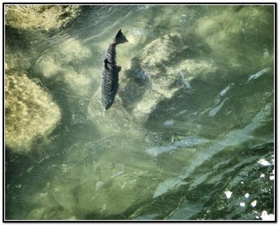 salmon-8x10_snapseed