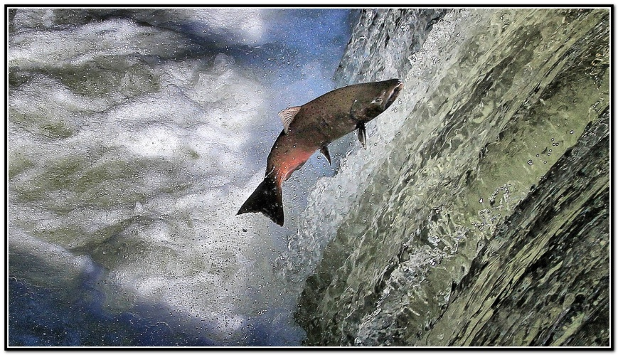 vcb-salmon