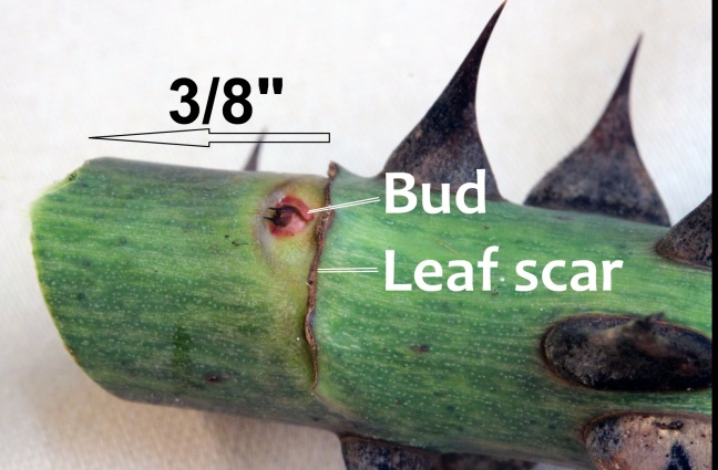 """Figure 4. Close-up of a rose cane showing an overwinter bud just above a leaf scar. The angular pruning cut was made about 3/8"""" above the bud."""