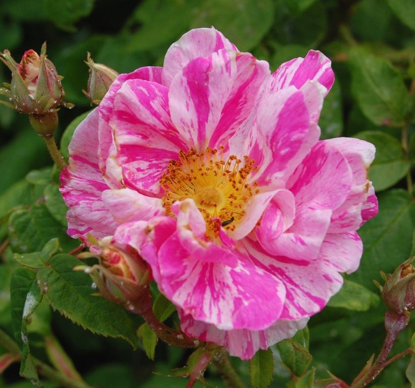 Figure 1. Rosa mundi